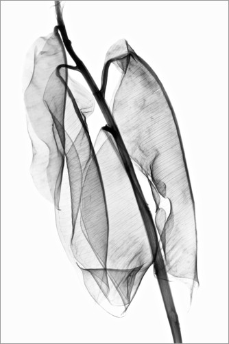Poster Premium Plant leaves, X-ray