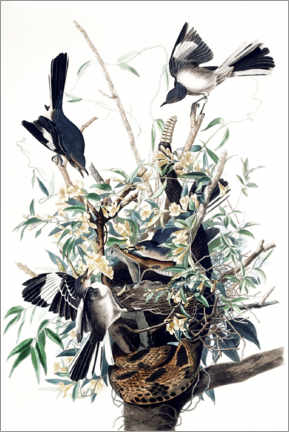 Poster Premium  Mockingbirds - John James Audubon