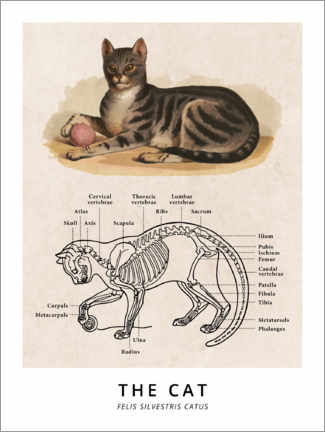 Poster Premium  Il gatto, diagramma vintage (inglese) - Wunderkammer Collection