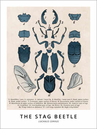 Poster Premium  The Stag Beetle, Diagram (Vintage) - Wunderkammer Collection