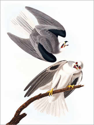 Poster Premium  Black-winged kite - John James Audubon