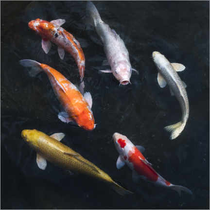 Poster Premium  Carpa koi colorata - Jan Christopher Becke