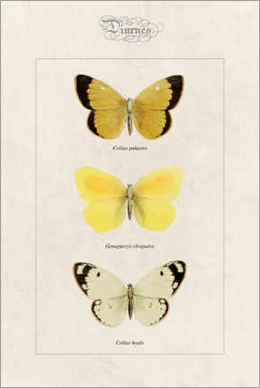 Stampa su vetro acrilico  Moorland clouded yellow, cleopatra and pale clouded yellow - Alexis Nicolas Noel