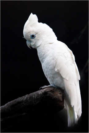 Stampa su legno  Beautiful white cockatoo - Mikhail Semenov