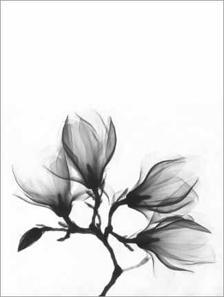 Poster Premium  X-ray image of a magnolia - Wunderkammer Collection