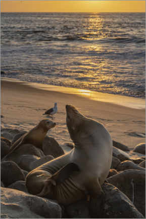 Poster Premium  Sea lions with the setting sun - Sheila Haddad