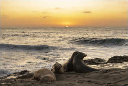 Poster Premium  Sea lions on the Pacific with the setting sun - Sheila Haddad