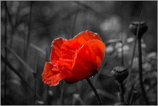 Stampa su plexi-alluminio  Red poppy on black and white background - Julia Delgado