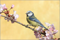 Stampa su plexi-alluminio  Blue tit on a branch of cherry - Uwe Fuchs