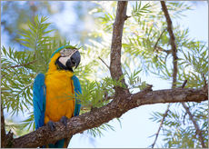 Stampa su plexi-alluminio  Blue and yellow macaw - Alex Saberi