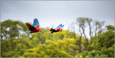 Stampa su plexi-alluminio  Red-and-green-macaws flying home - Alex Saberi