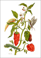 Adesivo murale  Peppers and insects - Maria Sibylla Merian