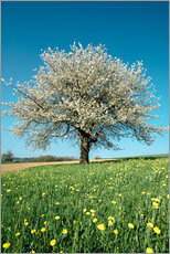 Adesivo murale  Blossoming cherry tree in spring on green field with blue sky - Peter Wey