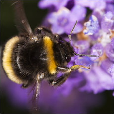 Adesivo murale  Bumble bee collecting pollen - Power and Syred