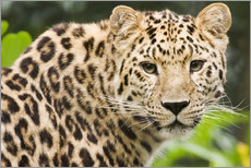 Adesivo murale  Amur leopard - Power and Syred
