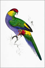 Adesivo murale  Red capped Parakeet 1 - Edward Lear