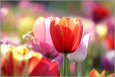 Stampa su plexi-alluminio  Beautiful colorful Tulips - Lichtspielart