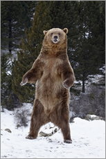 Adesivo murale  Grizzly Bear standing in the snow - James Hager