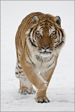 Adesivo murale  Siberian Tiger in the snow - James Hager