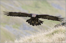 Adesivo murale  Golden eagle, Aquila chrysaetos, flying over moorland, captive, UK - Ann & Steve Toon