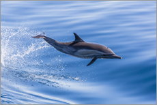 Adesivo murale  Long-beaked common dolphin leaping - Michael Nolan