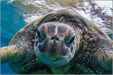 Adesivi murali  Green sea turtle - Michael Nolan