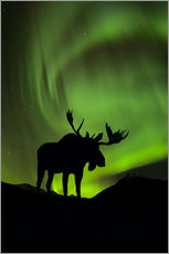 Stampa su plexi-alluminio  Moose silhouetted against the Northern Lights - John Hyde