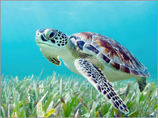 Stampa su plexi-alluminio  Hawaii, Green Sea Turtle (Chelonia Mydas) An Endangered Species. - M. Swiet