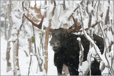 Adesivo murale  Elk sniffing in a winter forest - Philippe Henry