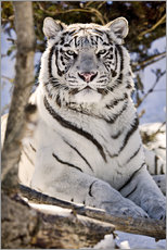 Adesivo murale  White Bengal Tiger - Chad Coombs