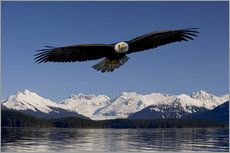 Stampa su plexi-alluminio  Bald Eagle in Tongase National Forest - John Hyde