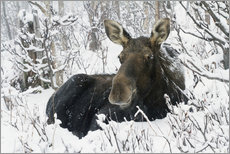 Adesivo murale  Cow elk in a winter forest - Philippe Henry