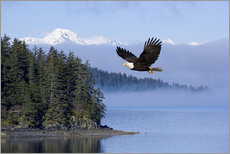Adesivo murale  Bald Eagle in flight - John Hyde