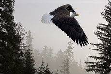 John Hyde - Bald Eagle in the Mist