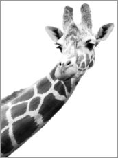 Stampa su plexi-alluminio  A Giraffe in black and white - Darren Greenwood