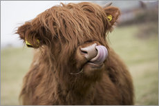Stampa su plexi-alluminio  Highland Cattle Licking It's Lips - John Short