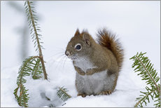 Adesivo murale  Red squirrel (Tamiasciurus hudsonicus) sitting on snow - Philippe Henry