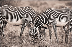 Adesivo murale  Two Zebras Grazing Together - David DuChemin