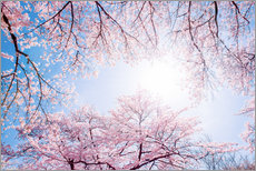 Stampa su plexi-alluminio  pink cherry blossom in spring with backlight and blue sky - Jan Christopher Becke