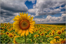 Adesivo murale  King of Sunflowers - Achim Thomae