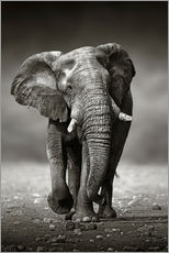 Adesivi murali  Elephant bull approaching from the front - Johan Swanepoel