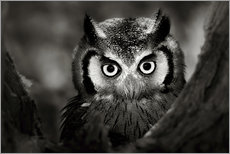Stampa su plexi-alluminio  White-faced Owl perched in a tree - Johan Swanepoel