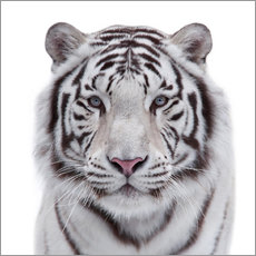 Adesivi murali  The white tiger