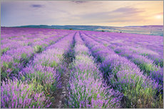 Adesivo murale  Meadow of lavender on sunset