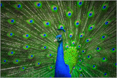Adesivi murali  beautiful peacock with feathers