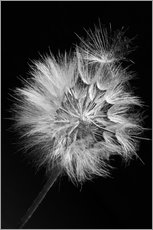 Adesivi murali Dandelion on black background