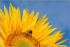 Adesivi murali  Sunflower against blue sky - Edith Albuschat