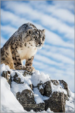 Adesivo murale  Snow leopard (Panthera india) - Janette Hill