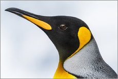Adesivo murale  Close up of the head of a King Penguin (Aptenodytes patagonicus) with a black head and grey back wit - Nick Dale