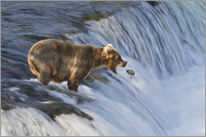 Adesivo murale  Brown bear (Ursus arctos) about to catch a jumping sockeye salmon (Oncorhynchus nerka) at Brooks Fal - Gary Schultz